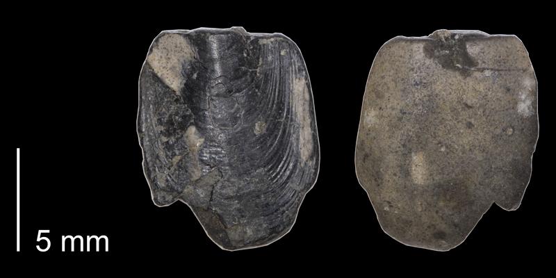 <i> Lingula subspatula </i> (FHSMIP 1121).