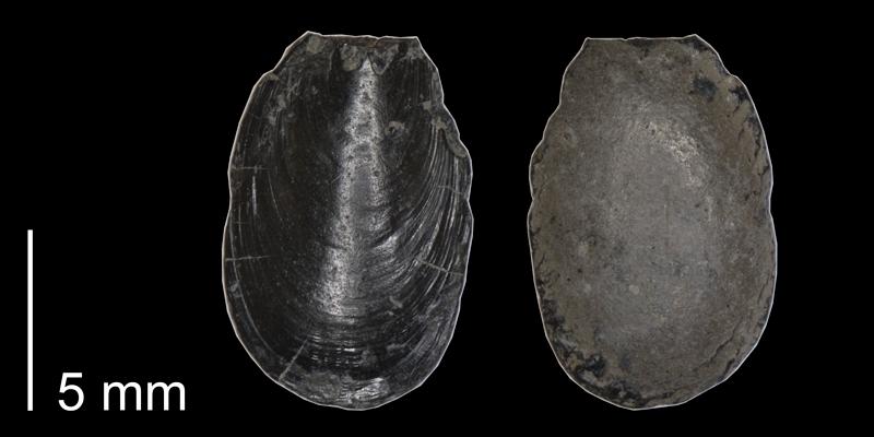 <i> Lingula subspatula </i> (FHSMIP 1122).