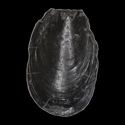 Lingula subspatula