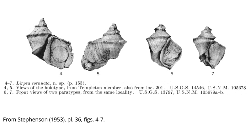 <i> Lirpsa cornuata </i> from the Cenomanian Woodbine Fm. of Texas (Stephenson 1953).