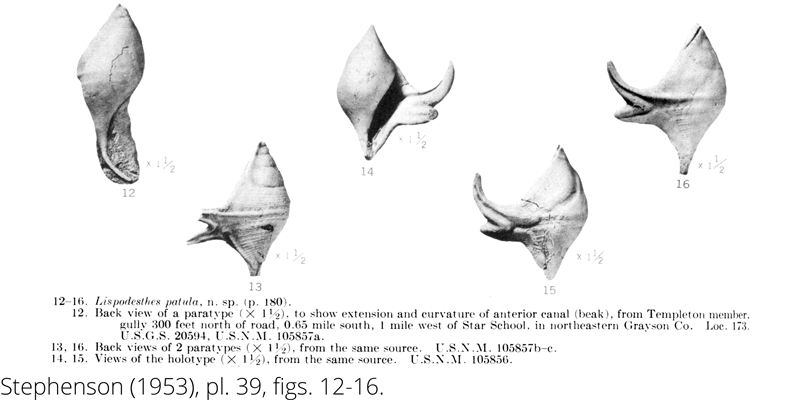 <i> Lispodesthes patula </i> from the Cenomanian Woodbine Fm. of Texas (Stephenson 1953).