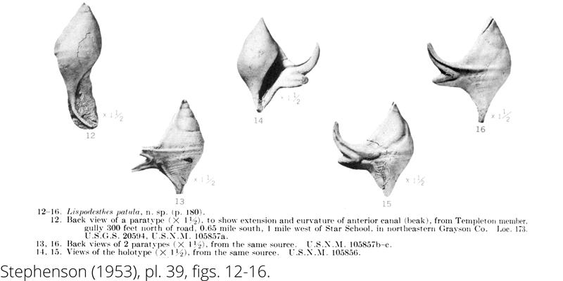 <i> Lispodesthes patula </i> from the Cenomanian Woodbine Fm. of Texas (Stephenson 1953).