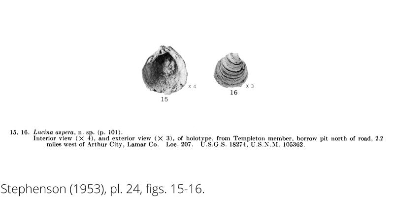 <i> Lucina aspera </i> from the Cenomanian Woodbine Fm. of Texas (Stephenson 1953).