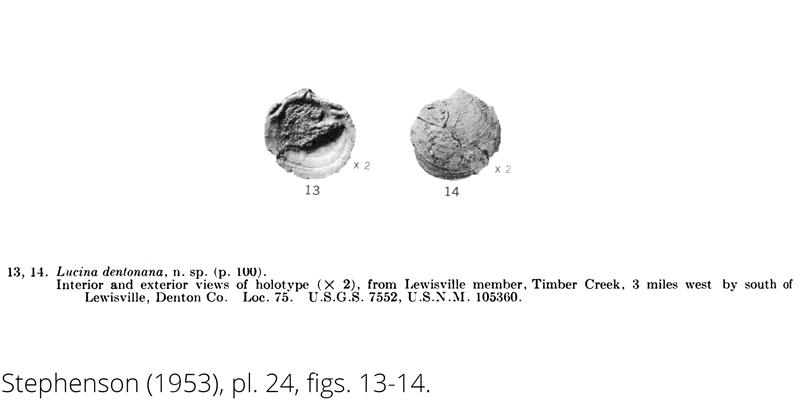 <i> Lucina dentonana </i> from the Cenomanian Woodbine Fm. of Texas (Stephenson 1953).