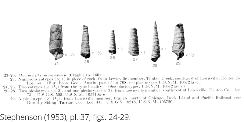 <i> Macrocerithium tramitense </i> from the Cenomanian Woodbine Fm. of Texas (Stephenson 1953).