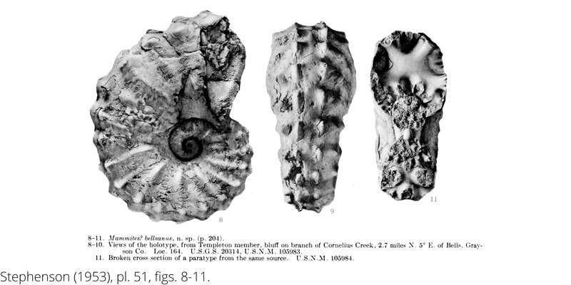<i> Mammites bellsanus </i> from the Cenomanian Woodbine Fm. of Texas (Stephenson 1953).