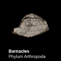 Maxillopoda