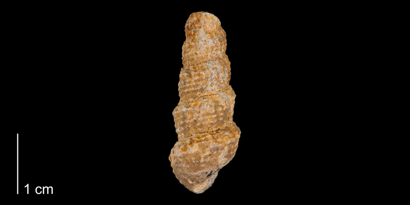 <i> Chemnitzia wyomingensis </i> from the Maastrichtian Fox Hills Fm. of Carbon County, Wyoming (YPM 339619).