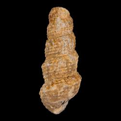 Chemnitzia wyomingensis