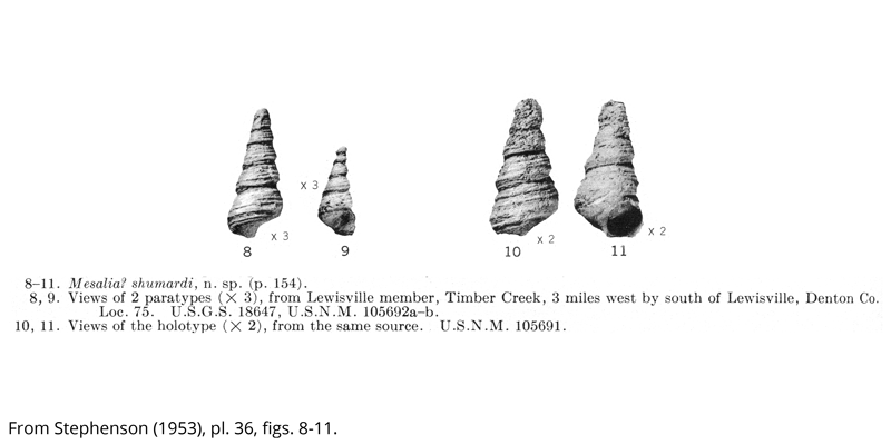 <i> Mesalia shumardi </i> from the Cenomanian Woodbine Fm. of Texas (Stephenson 1953).