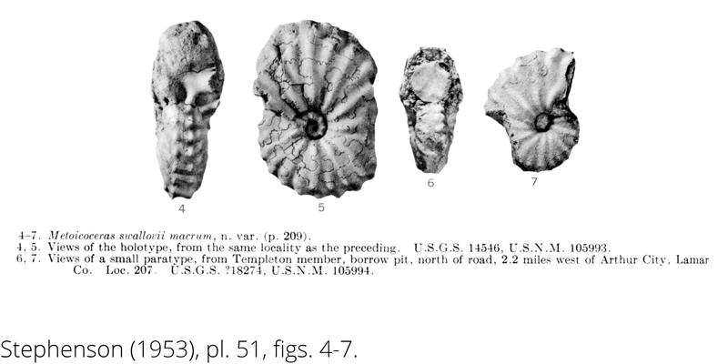 <i> Metoicoceras swallovi macrum </i> from the Cenomanian Woodbine Fm. of Texas (Stephenson 1953).