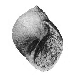 Natica dorothiensis