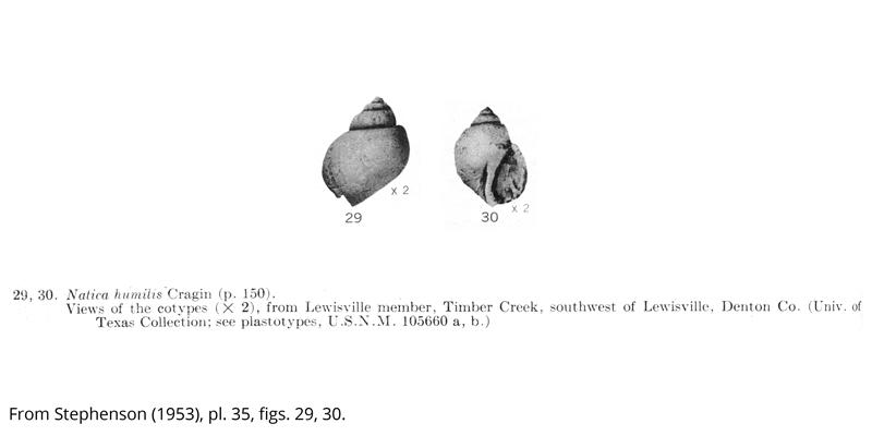 <i> Natica humilis </i> from the Cenomanian Woodbine Fm. of Texas (Stephenson 1953).