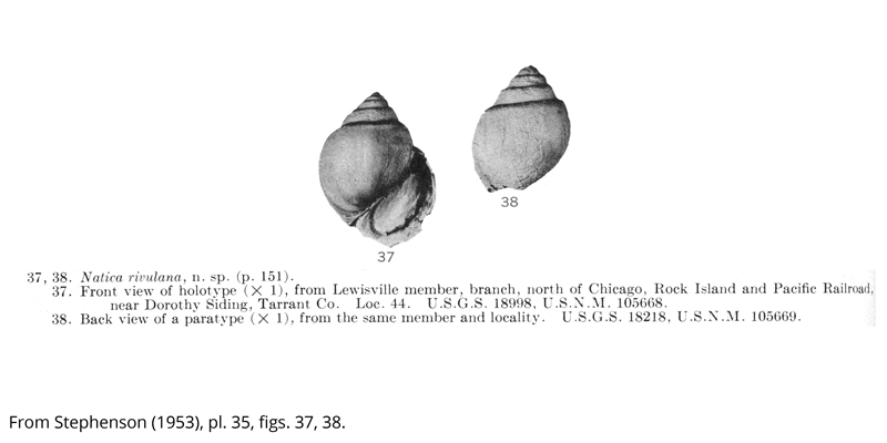 <i> Natica rivulana </i> from the Cenomanian Woobine Fm. of Texas (Stephenson 1953).