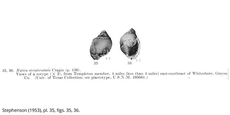 <i> Natica striaticostata </i> from the Cenomanian Woodbine Fm. of Texas (Stephenson 1953).