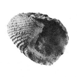 Nerita ornata