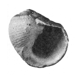 Nerita semilevis