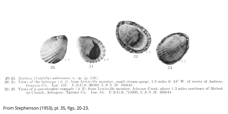 <i> Neritina ambrosana </i> from the Cenomanian Woodbine Fm. of Texas (Stephenson 1953).