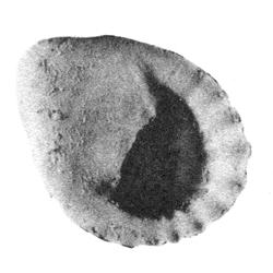 Neritina ambrosana