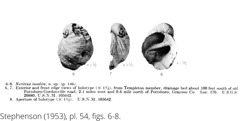 <i> Neritina insolita </i> from the Cenomanian Woodbine Fm. of Texas (Stephenson 1953).