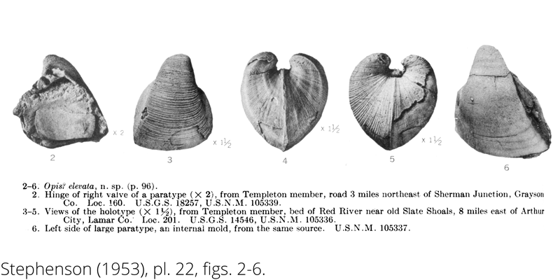 <i> Opis elevata </i> from the Cenomanian Woodbine Fm. of Texas (Stephenson 1953).