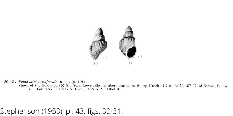 <i> Paladmete turbiformis </i> from the Cenomanian Woodbine Fm. of Texas (Stephenson 1953).
