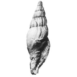 Paleopsephaea decorosa
