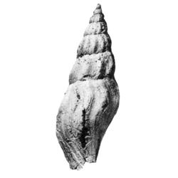 Paleopsephaea patens