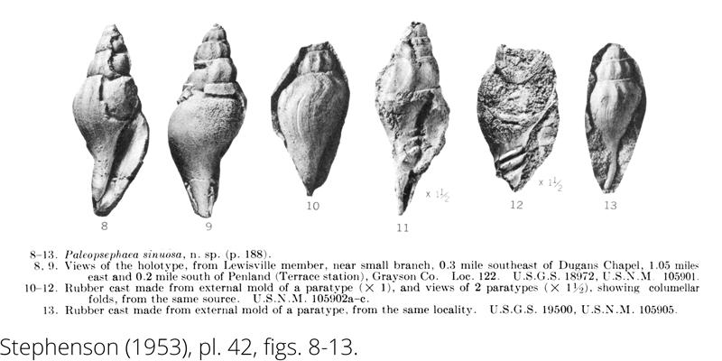<i> Paleopsephaea sinuosa </i> from the Cenomanian Woodbine Fm. of Texas (Stephenson 1953).