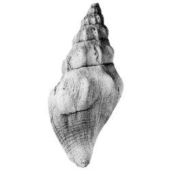 Paleopsephaea