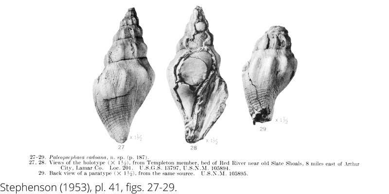 <i> Paleopsephaea vadoana </i> from the Cenomanian Woodbine Fm. of Texas (Stephenson 1953).