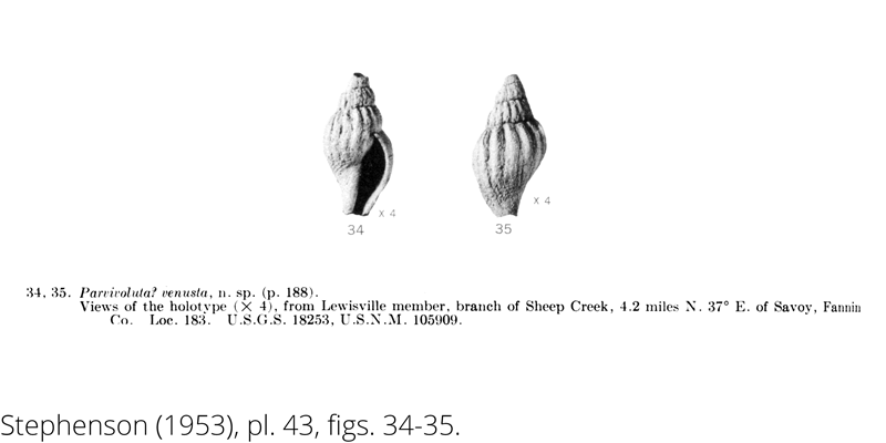 <i> Parvivoluta venusta </i> from the Cenomanian Woodbine Fm. of Texas (Stephenson 1953).