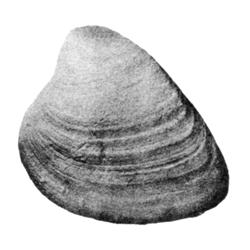 Pharodina ferrana