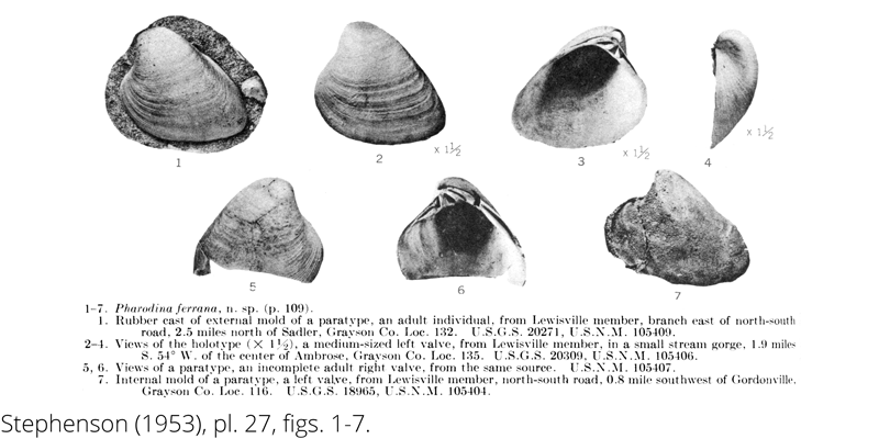 <i> Pharodina ferrana </i> from the Cenomanian Woodbine Fm. of Texas (Stephenson 1953).