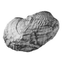 Pholadomya goldenensis