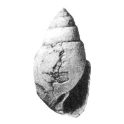 Pirsila obtusa