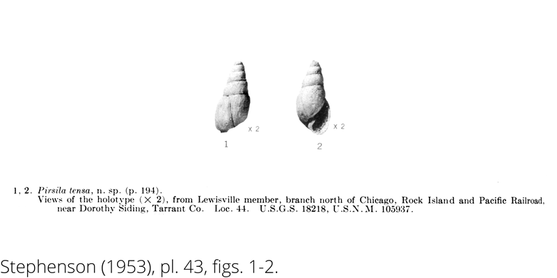 <i> Pirsila tensa </i> from the Cenomanian Woodbine Fm. of Texas (Stephenson 1953).
