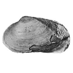 Pollex angulatus