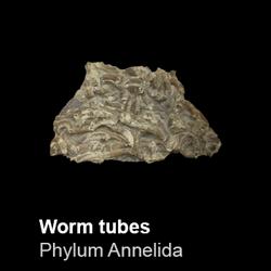 Polychaeta