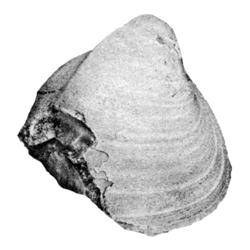 Protocardia timberensis