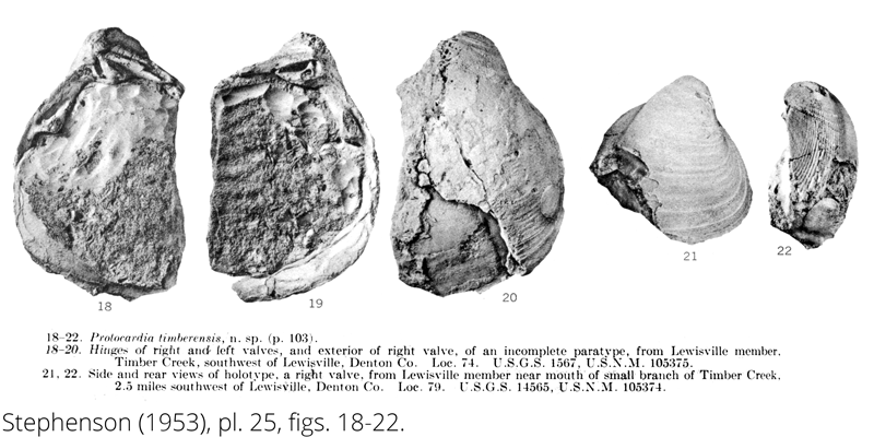 <i> Protocardia timberensis </i> from the Cenomanian Woodbine Fm. of Texas (Stephenson 1953).