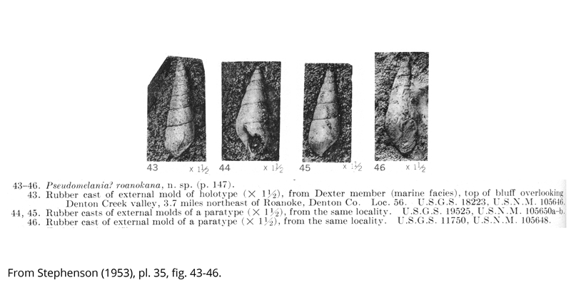 <i> Pseudomelania roanokana </i> from the Cenomanian Woodbine Fm. of Texas (Stephenson 1953).