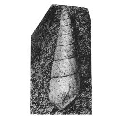 Pseudomelania roanokana
