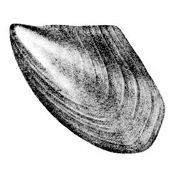Pseudoptera gregaria