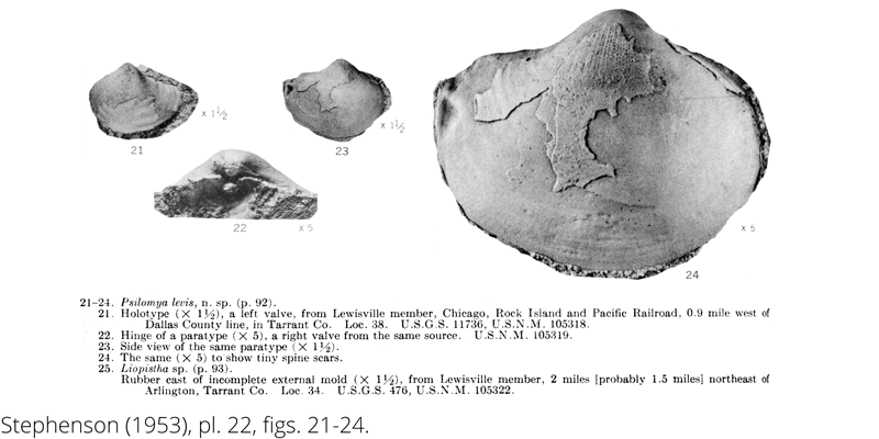 <i> Psilomya levis </i> from the Cenomanian Woodbine Fm. of Texas (Stephenson 1953).