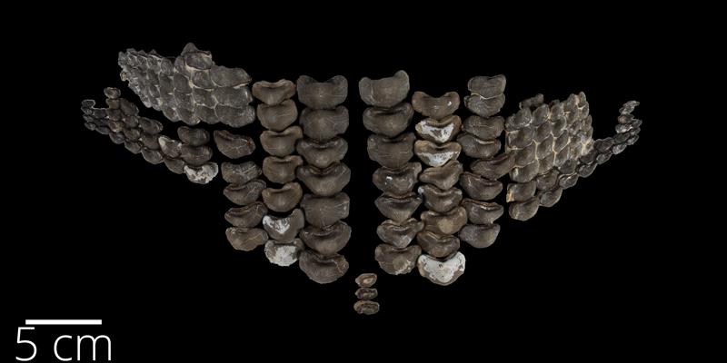 Upper dentition of <i> Ptychodus mortoni </i> from the Santonian Niobrara Fm. of Rooks County, Kansas (FHSMVP 2238).