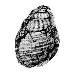 Pyrgulifera costata