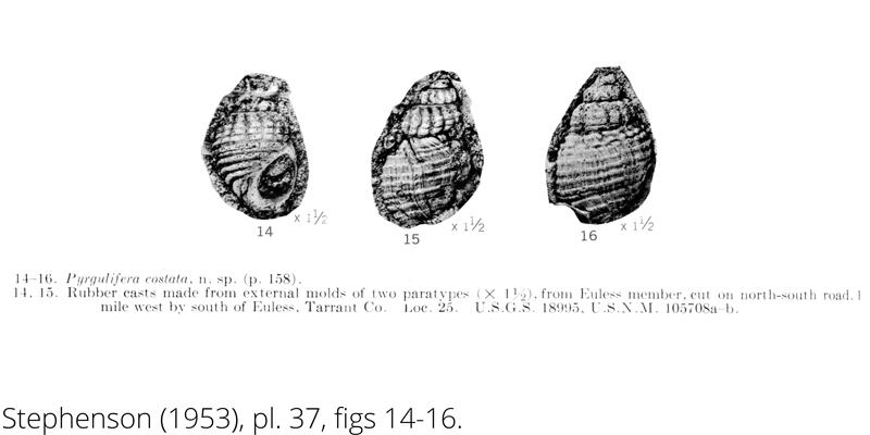 <i> Pyrgulifera costata </i> from the Cenomanian Woodbine Fm. of Texas (Stephenson 1953).