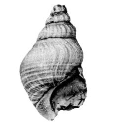 Pyrgulifera costata sublevis