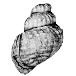 Pyrgulifera costata tuberata
